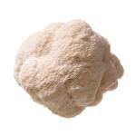 Pom Pom Blanc | Pilzgarten